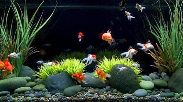 Rekomendasi Ikan Hias Air Tawar